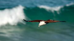 Brahminy Kite (Nature's Image Photography) Tags: brahminykite birdsofprey nature wildlife coolum sunshinecoast