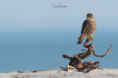 Merlins of the Jersey Shore | 2018 - 1 (RGL_Photography) Tags: birding birds birdsofprey birdwatching falcocolumbarius falcon gardenstate jerseyshore merlin newjersey nikonafs600mmf4gedvr nikond500 oceancounty ornithology pigeonhawk raptors us unitedstates wildlife wildlifephotography ©2018rglphotography