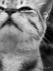 IMG_6322 (Giorgos H) Tags: giorgos cat blackandwhite bw portrait contrast