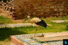 Saadien Tombs (Ibrahim D Photography) Tags: saadientombs marrakech morocco touristattraction tourist vacation holiday tomb royaltombs lemaroc maroc travel travelphoto stork bird bigbird white whitestork