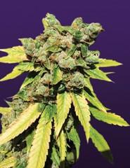 lambs-breath-240x312 (Watcher1999) Tags: lambs breath cannabis seeds marijuana thc weed medical california jamaica bob marley growing smoking weeds reggae reaggae legalize it ganja