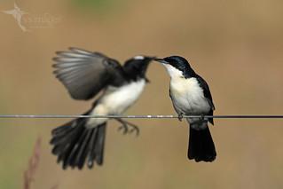 Restless Flycatcher & Willie Wagtail