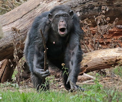 chimpanzee Burgerszoo JN6A8254 (j.a.kok) Tags: animal africa afrika aap ape burgerszoo burgerzoo mammal monkey mensaap primate primaat chimpansee chimpanzee pantroglodytes zoogdier dier