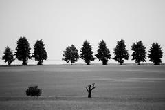 Baumreihen (Gruenewiese86) Tags: 6d canon harz landschaft minimalismus minimal 70200 schwarzweiss schwarzweis blackandwhite 100400