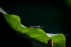 透過光ーTransmitted light (kurumaebi) Tags: yamaguchi 秋穂 山口市 nikon d750 睡蓮 スイレン 夏 summer waterlily トンボ dragonfly macro マクロ
