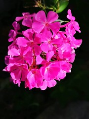 20180909Steiermark Oberzeiring Blume Garten AngelikaMy (rerednaw_at) Tags: steiermark oberzeiring blume garten angelikamy