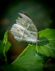 Cabbage Butterfly - Biosphäre Potsdam (Daniel Poon 2012) Tags: musictomyeyes artistoftheyear amazingphoto 123 blinkagain blinkstomyeyes flickr nikonflickraward simplysuperb simplicity storytelling nationalgeographic ngc opticalexcellence beauty beautifullight beautifulcapture level2autofocus landscape waterscape bydanielpoon danielpoonca worldtravel superphotosgroup theamusingphotogroup powerofnikon aplaceforgreatphotographers natureimage focusandclick travelaroundthe world worldmasterpiece waterwatereverywhere worldphotography yourbestphotography mybestphotography worldwidewandering travellersworld orientalland nikond500photography photooftheyear nikonshooters landscapeoftheworld waterscapeoftheworld cityscapeoftheworld groupforallusersofnikon chinesephotographers greatphotographer