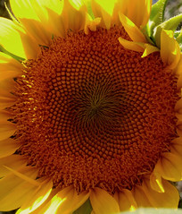 Within the Flower ! (jlynfriend) Tags: phonephoto lg flower garden sunflower afternoon macro art illustration yellow orange petals sunseeds