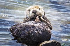 Sleepy Otter 1 (lycheng99) Tags: sleepy sleepyotter seaotter fur feather cute animal wildlife nature shore ocean elkhornslough mosslanding face sea sealife marine marinemammal california californiacoast water wet