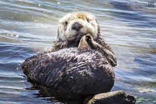 Sleepy Otter 1