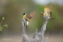 Campo Flickers (www.NeotropicPhotoTours.com) Tags: campoflicker colaptescampestris neotropicphototours juancarlosvindas twobirds woodpeckers southamerica brazil pantanal wildlife birdphotography