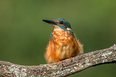 Kingfisher - Male D85_5630.jpg (Mobile Lynn) Tags: kingfisher birds nature aves bird chordata coraciiformes fauna wildlife coth specanimal coth5 ngc npc