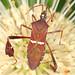 Eastern Leaf-footed Bug - Leptoglossus phyllopus, Carolina Sandhills National Wildlife Refuge, McBee, South Carolina