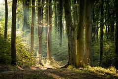 beech wood near Sellin in Rügen (Felix Ott) Tags: beech beechwood buchenwald wald sun sonne sunlight idyllisch idyllic trees bäume rügen granitz sellin ostsee balticsea hochuferweg