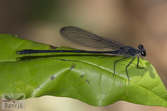 Mnesarete sp. (Calopterygidae) ( BlezSP) Tags: mnesarete calopterygidae madrededios peru faunaforever tropicalrainforest neotropical