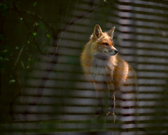Inside Looking Out (Chancy Rendezvous) Tags: chancyrendezvous davelawler blurgasm red fox ecotarium worcester massachusetts animal canine fence enclosure habitat vulpesvulpes rescued redfox shadows morning dof