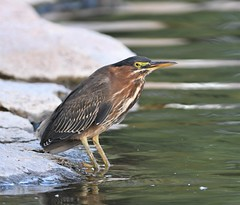 Green Heron, Butorides virescens (Dave Beaudette) Tags: birds greenheron butoridesvirescens reidpark tucson pimacounty arizona