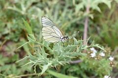 Aporia crataegi (esta_ahi) Tags: tarragona arbolí baixcamp spain españa испания aporia crataegi aporiacrataegi blancadelmajuelo pieridae lepidoptera insectos fauna