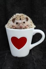 Hedgie Love (SOTC 300/365) (gina_blank) Tags: sotc hedgehog animal cute adorable prickles ball mug cup teacup coffeemug closeup heart love