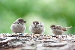 Sparrows babies--  this photo was selected as the cover photo of the Group Birds-Oiseaux-Aves Thank you so much-Picture of the week 3.-9.9.2018 (hundertblumen) Tags: sparrow spatzen babies eating sigma150 pictureoftheweek