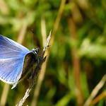 (m). Common Blue Polyommatus icarus (po-lee-oh-MAY-tuss IK-uh-russ) thumbnail