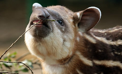 south american tapir Artis JN6A0253 (j.a.kok) Tags: tapir zuidamerika zuidamerikaansetapir southamerica southamericantapir animal artis mammal zoogdier dier herbivore