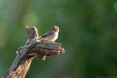 Gobemouche gris Muscicapa striata - Spotted Flycatcher (Julien Ruiz) Tags: gobemouche gris muscicapa striata spotted flycatcher