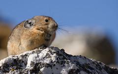 Pika (markvcr) Tags: pika lagomorph rabbit mammal wildlife nest colorado