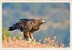 Águila Real Hembra (Aquila chrysaetos) (JORGE AMAYA BUSTAMANTE - JAKKEMATE) Tags: goldeneagle chrysaetos aquila águilareal jorgeamayabustamante jakkemate sigma150600sport nikond500