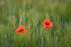 The Poppies of Provence (virtualwayfarer) Tags: roussillon provencealpescôtedazur france fr french frenchcountryside poppies poppyfield field fieldofflowers flowers red redflows nature landscape travelphotography movielike moviesque frenchroadtrip roadtrip southernfrance travel alexberger spring springinprovence cotedazur beautifulfrance visittofrance sonyalpha a7rii historictown historicroute