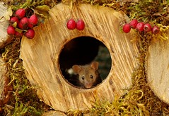 mouse in wood hole with berrys (1) (Simon Dell Photography) Tags: wild garden house mouse nature animal cute funny fun moss covered log pile acorns nuts berries berrys fuit apple high detail rodent wildlife eye ears door home sheffield ul old english country s12 simon dell apples autumn fall winter fruits seasonal photography