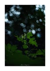 2018/8/13 - 1/9 photo by shin ikegami. - SONY ILCE‑7M2 / New Jupiter 3+ 1.5/50 L39/M (shin ikegami) Tags: 紫陽花 flower 花 sky 空 井の頭公園 吉祥寺 summer 夏 sony ilce7m2 sonyilce7m2 a7ii 50mm lomography lomoartlens newjupiter3 tokyo sonycamera photo photographer 単焦点 iso800 ndfilter light shadow 自然 nature 玉ボケ bokeh depthoffield naturephotography art photography japan earth asia