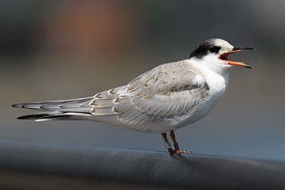 Common Tern (A88)