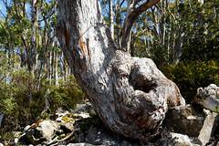 20180910-01-Twisted tree (Roger T Wong) Tags: 2018 australia hobart mtwellington rogertwong sel24105g sony24105 sonya7iii sonyalpha7iii sonyfe24105mmf4goss sonyilce7m3 tasmania