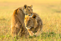 He's mine! (Anthony Lau @ HK) Tags: maasaimara lioness kenya safari wildlife lion nature