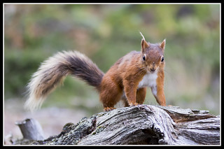 IMG_0094 Red Squirrel