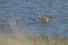 Curlew (Artisanart) Tags: curlew rye harbour east sussex bird nature wildlife water reserve