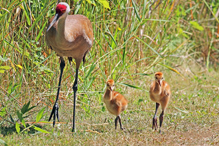 Sandhill Crane And Colts 18-0624-5091