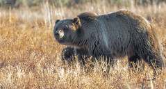 Blondie the Bear (agnish.dey) Tags: wildlife bear mammal nature naturallight naturephotograph nikon naturethroughthelens animalplanet d500 coth wyoming nationalpark grassland grizzlybear