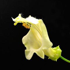 2018-09-22 Sinningia brasiliensis - Teplice (beranekp) Tags: czech teplice teplitz botanik botany botanic herbarium herbary herbář flora flower plant sinningia