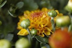 Astern (petra.wruck) Tags: blume blumen flower flowers pflanzen pflanze plants plant macro makro