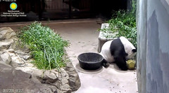 2018_08-17c (gkoo19681) Tags: tiantian dabigguy sohandsome proudpapa adorableears fuzzywuzzy feetsies treattime treatball twirling hopeful yummybiscuit yuckybiscuit picky toocute toofunny amazing oddbehavior justbecausehecan precious darling ccncby nationalzoo