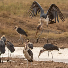 Nairobi-Nationalpark 043 (ovg2012) Tags: kenia kenya leptoptiloscrumenifer maraboustork marabu nairobinationalpark safari