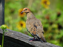 DSCN3166 Mourning Dove (Dodge Rock) Tags: dove mourningdove
