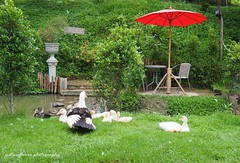 A little family. (natureflower) Tags: family courtyard ducks canal garden umbrella benches trees green rain countryside rural cascade waterfall greenery