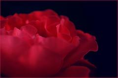 Red red rose. I love you I suppose. (Gudzwi) Tags: 25august1995 nature natur rose flower flora fridayflower 7dwffridaysflora 7dwf red rot schwarzerhintergrund schwarz black blackbackground blume blüte blossom blur blurry bokeh verschwommen soft weich makro macro macroorcloseup love liebe blumederliebe floweroflove rotundschwarz redandblack smallfocus knapperfokus lowkey smileonsaturday sos roseisarose