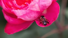 taking a breather (Francis Mansell) Tags: flower bee plant insect rose petal invertebrate animal kew kewgardens royalbotanicgardenskew macro honeybee apismelifera
