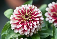 The nearest to a zinia (Pensive glance) Tags: flower fleur plant plante
