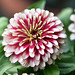 The nearest to a zinia