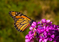 Monarch (Me in ME) Tags: brunswick butterfly flora maine monarch phlox fauna